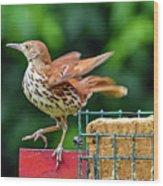 Brown Thrasher Wood Print