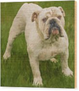 Bruce The Bulldog Wood Print