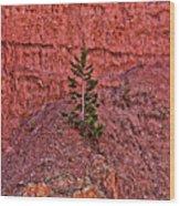 Bryce Canyon Pine Tree Wood Print