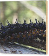 Buckeye Caterpillar Wood Print