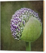 Budding Allium Wood Print