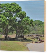 Buffalo At Hambantota Wood Print