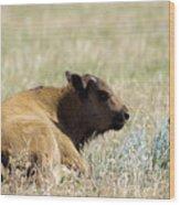 Buffalo Calf Wood Print