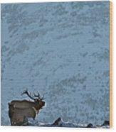 Bugling Bull Elk, Alberta Canada Wood Print