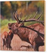 Bugling Elk In Autumn Wood Print