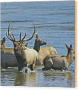 Bugling Elk In Lake Wood Print