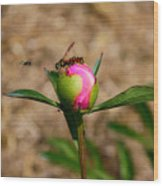 Bugs Wanting The Same Flower Wood Print