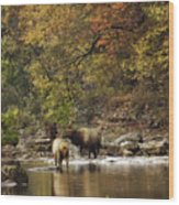 Bull And Cow Elk In Buffalo River Crossing Wood Print