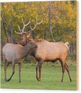 Bull And Cow Elk - Rutting Season Wood Print