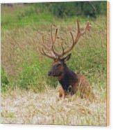 Bull Elk At Rest Wood Print