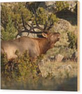 Bull Elk Bugling Among The Rocks Wood Print