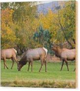 Bull Elk  Bugling With Cow Elks - Rutting Season Wood Print