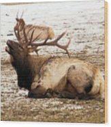 Bull Elk Calls Out Wood Print