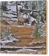 Bull Elk Feeding In Winter Wood Print