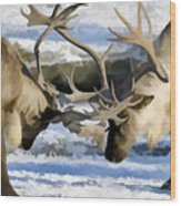 Bull Elk Fighting  Wood Print