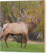 Bull Elk In Rutting Season Wood Print