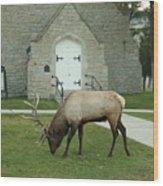 Bull Elk On The Church Lawn Wood Print