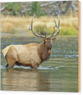 Bull Elk Wading The Madison River Wood Print