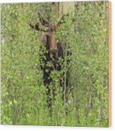 Bull Moose Guards The Aspen Wood Print