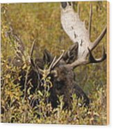 Bull Moose In Hiding Wood Print