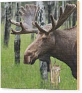 Bull Moose Portrait Wood Print