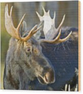 Bull Moose Up Close Wood Print