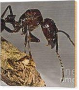 Bullet Ant Wood Print