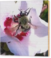 Bumble Bee Making His Escape From Hibiscus Flower Wood Print