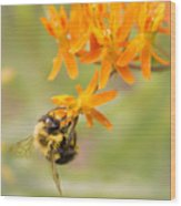 Bumble Bee on Butterfly Weed Wood Print