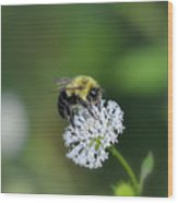 Bumble Bee On White Wild Flower On Banks Of Tennessee River At Shiloh National Military Park Wood Print