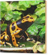 Bumble Bee Poison Frog Wood Print