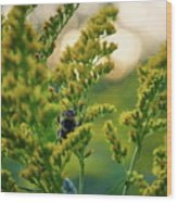 Bumblebee And Canadian Goldenrod 15 Wood Print