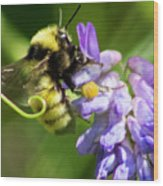 Bumblebee On A Blue Giant Hyssop Wood Print