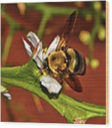 Bumblebee On A Hardy Orange Blossom 002 Wood Print
