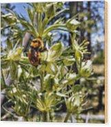 Bumblebee On Elkweed Blossoms Wood Print