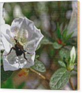 Bumblebee On White Azalea Wood Print