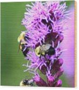 Bumblebees On Liatris Wood Print