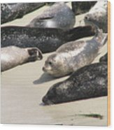 Bunch Of Harbor Seals Resting On A Beach Wood Print