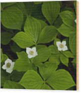 Bunchberry Blossoms Wood Print