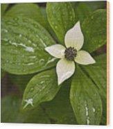 Bunchberry Cornus Canadensis Wood Print