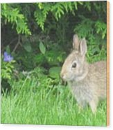 Bunny In Repose Wood Print