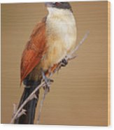 Burchell's Coucal - Rainbird Wood Print