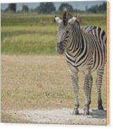 Burchell's Zebra On Grassy Plain Facing Camera Wood Print