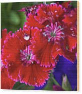Burgandy Red Dianthus Wood Print