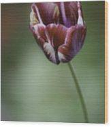 Burgandy Striped Tulip 2 Wood Print