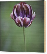 Burgandy Striped Tulip 3 Wood Print