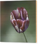 Burgandy Striped Tulip Squared Wood Print