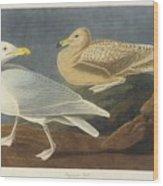 Burgomaster Gull Wood Print