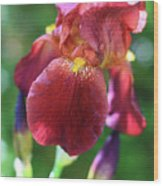 Burgundy Iris Wood Print