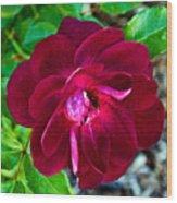 Burgundy Red Rose At Pilgrim Place In Claremont-california  Wood Print